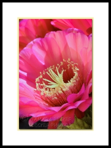 pink night blooming cactus flower